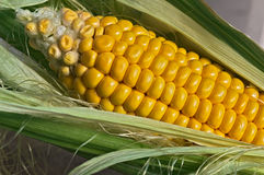 Corn cob Stock Photo