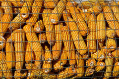 Corn on the cob display at agricultural show. Display of corn on the cob at agricultural show Royalty Free Stock Photo