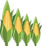 Corn Cob eps file Stock Photo