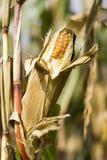 A corn cob in the field. Closeup Stock Photo
