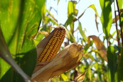Corn cob on field. Ready to harvest. Autumn sunny day rural theme Royalty Free Stock Images