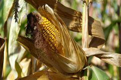 Corn cob on field. Ready to harvest. Autumn sunny day rural theme Royalty Free Stock Photos