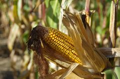 Corn cob on field. Ready to harvest. Autumn sunny day rural theme Stock Photography