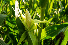 Corn cob Stock Images