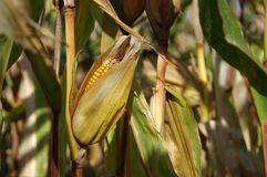 Corn cob on field. Ready to harvest. Autumn sunny day rural theme Stock Photo