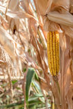 Corn on the cob on the field. Ripe corn on the cob in a field which is growing against the background of dried leaves Royalty Free Stock Photo