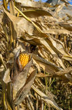 Corn cob in a field on windy weather Stock Images