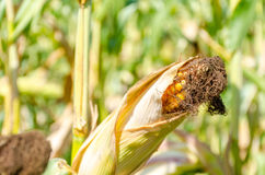 Corn cob on a filed in summer.  Royalty Free Stock Photography