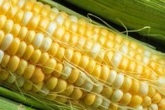 Corn on a cob. Fresh corn on a cob with husk Stock Photo