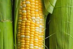 Corn on a cob. Fresh corn on a cob with husk Stock Image