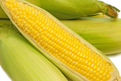 Corn On The Cob Fresh Picked. Close up shot of delicious fresh picked corn on the cob.  On white background Royalty Free Stock Photo