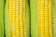Corn cob between green leaves Stock Photography