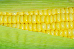 Corn cob between green leaves Stock Image