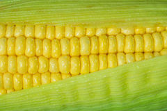 Corn cob between green leaves Royalty Free Stock Photos