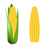 Corn cob with green leaves. On white background Stock Image
