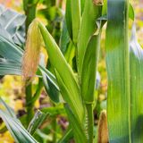 corn on the cob growing on a field stock image