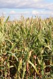 Corn on the cob growing tall in the field in the sunshine stock photo
