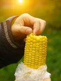 Corn cob in hand natural healthy food alternative. Corn cob in kids hand as a natural healthy food alternative to fast food close up photo on the autumn sunny Royalty Free Stock Photo