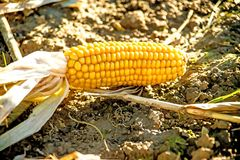 Corn cob on harvested field. In autumn in Germany Royalty Free Stock Image