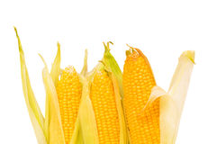 Corn cob isolated Stock Photography