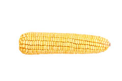 Corn cob isolated. Dent corn cob isolated on white background Royalty Free Stock Photos