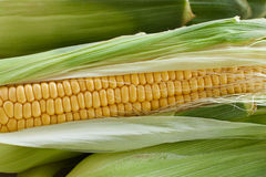 Corn on the cob. With leaves Stock Photo