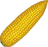 Corn Cob Without Leaves. Hand drawn Illustration. Isolated Object Royalty Free Stock Photos
