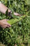 Corn Cob Royalty Free Stock Images