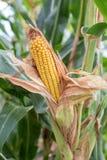 Corn on a cob Royalty Free Stock Image