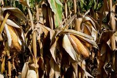 Corn on the cob. Prior to harvest corn on the cob Royalty Free Stock Photos