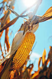 Corn cob at field Stock Photo