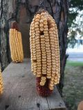 Corn on the cob on a squirrel feeder. stock photo