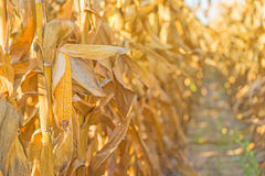 Corn cob on stalk in maize field Royalty Free Stock Photography
