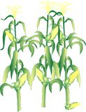 Corn on the cob stalks Stock Image