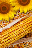 Corn Cob and sunflower Stock Image