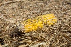 Corn on the cob Royalty Free Stock Photos
