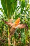Corn cob on tree Stock Photos