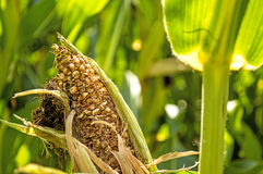 Corn cob, withered Royalty Free Stock Photo