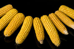 Corn, cob, yellow, decoration, still life, eleganc. Necklace of corn cobs on black background in studio Stock Images