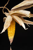 Corn, cob, yellow, decoration, still life, eleganc. Still life of ripe corn cobs freshly harvest in autumn. Modern and uncluttered composition with copy space in Stock Photos