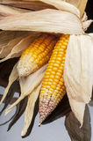 Corn, cob, yellow, decoration, still life, eleganc. Still life of ripe corn cobs freshly harvest in autumn. Modern and uncluttered composition in studio on black Royalty Free Stock Photography