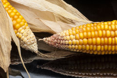 Corn, cob, yellow, decoration, still life, eleganc. Still life of ripe corn cobs freshly harvest in autumn. Modern and uncluttered composition in studio on black Royalty Free Stock Images