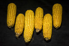 Corn, cob, yellow, decoration, still life, eleganc. Vertically aligned six ears of corn. Modern and uncluttered composition in studio on luxury black background Royalty Free Stock Photos