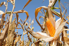 Corn cob  yellow and ripe Royalty Free Stock Photography
