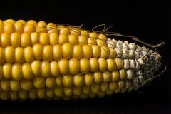Corn, cob, yellow, ripe, grain, food, wellness, Zea mays. Macro of ear of corn for background Royalty Free Stock Photos