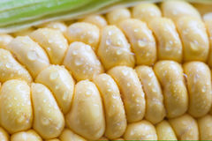 Corn cob (Zea mays). Close up of a Corn cob (Zea mays Stock Image