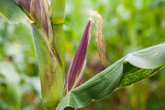 Corn cob Zea mays. At organic corn cultivation field Royalty Free Stock Photo