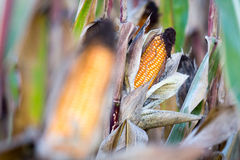 Corn cobe Royalty Free Stock Photo