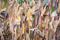 Corn cobe Royalty Free Stock Images