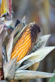 Corn cobe Stock Images